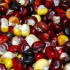 renkli mısır tohumu antalya
